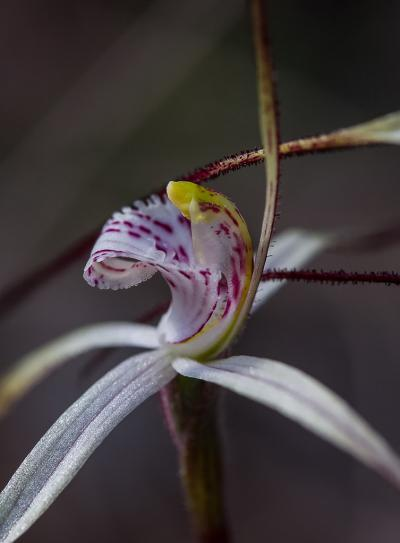 Caladenia vulgata. Common Spider